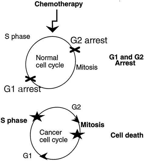 How To Detox Dead Cancer Cells From Chemo And Radiation by Exploiting Cancer Cell Cycling For Selective Protection Of