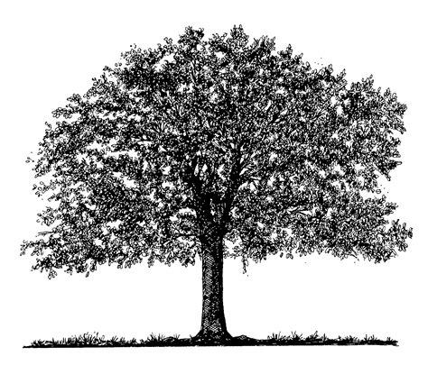 tree drwing oak tree clip black white search 225 rbol