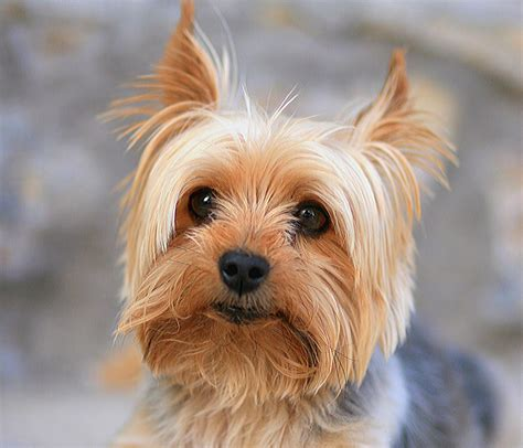 yorkie breeder tracheal collapse in dogs conquering the cough