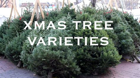 christmas trees types pictures live tree varieties sohotrees 5 tree species