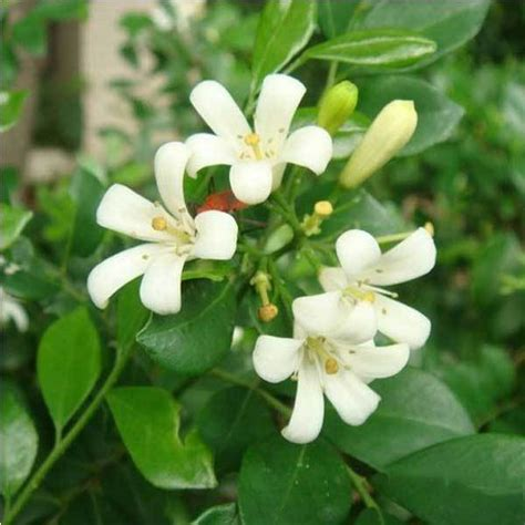 40pcs White Daphne Odera Seeds Indoor Bonsai Plant | barmanner 40pcs white daphne odera seeds indoor bonsai