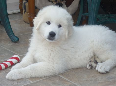 pyrenean mountain puppies our dogs earthmagic breeds and crafts