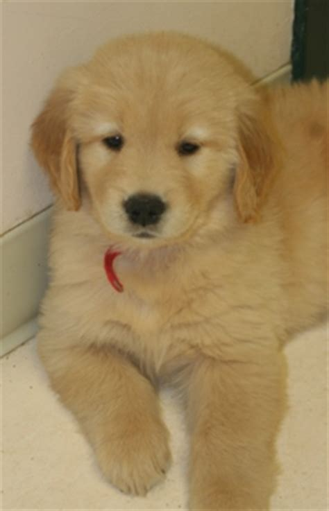 gemini golden retrievers puppy gemini goldens akc breeder of golden retrievers located in rockledge florida