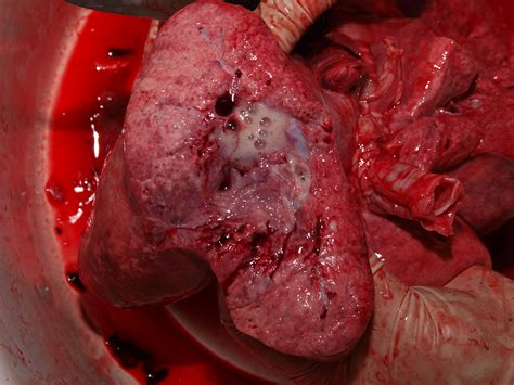 mucus in with image description mucus in sheeps lung jpg images frompo