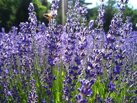 lavanda in vaso cure pianta di lavanda piante perenni caratteristiche della