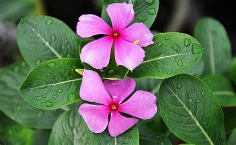 tanaman tapak dara manfaat daun tapak dara untuk mengobati berbagai penyakit