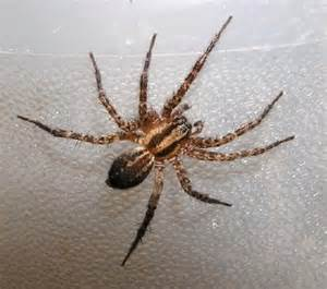California Spider Frequently Encountered Spiders In California