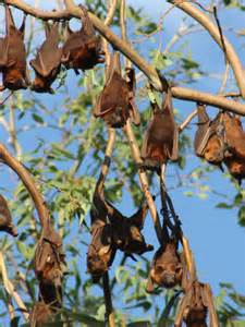 breeders want flying fox culls to stop hendra abc mid