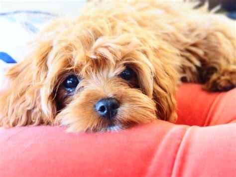 pocket puppies australia s esteemed home of cavoodles our poodle hugo