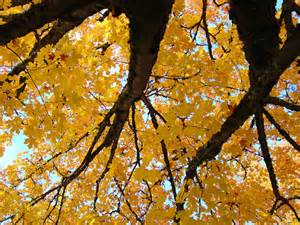 yellow fall trees prints autumn leaves photograph by