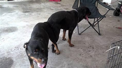 raising rottweilers k9 by s rottweiler darkco x