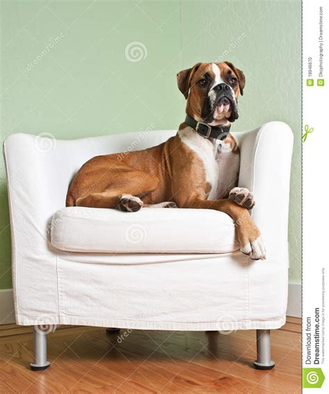 Boxer Dog In Chair Stock Photo   Image: 18946670