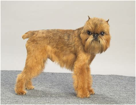 brussels griffon brussels griffon puppies breeders pictures facts info personality animals adda