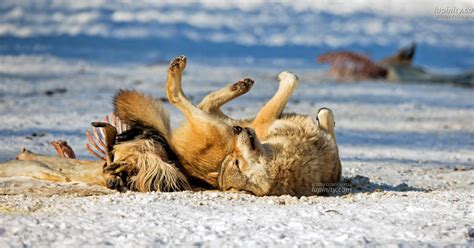 why do dogs rub their on the ground white wolf why do wolves and dogs roll on stinky stuff