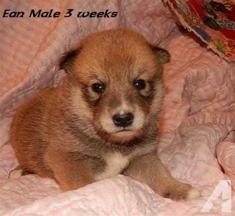 shiba inu puppies for sale oregon 1 shiba inu 2 shiba spitz puppies for sale in astoria oregon classified
