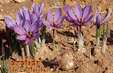 libro la flor del azafrn azafr 193 n origen cultivo producci 243 n utilidades museo en la portada de madridejos toledo espa 241 a