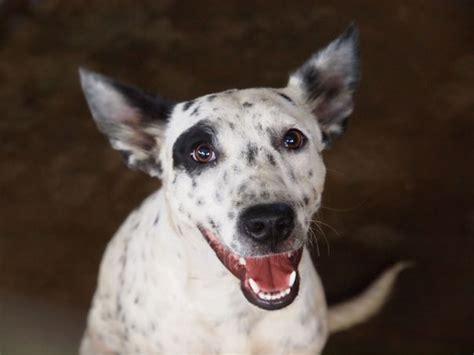 pug rescue brisbane australian koolie puppies koolie in qld for sale breeds picture