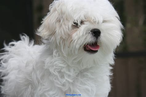 maltese puppies white maltese puppy shih tzu breeds picture
