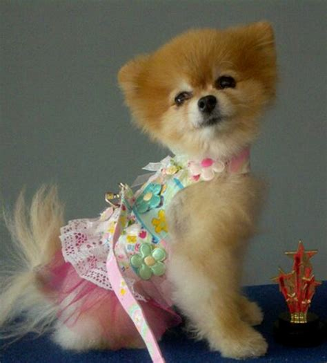 jiggy pomeranian talks hairstyles petmeds pet health
