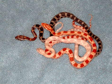corn snake wild life animal