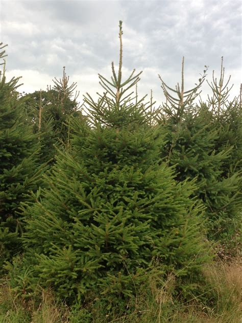 10 ft christmas trees uk 10ft spruce traditional