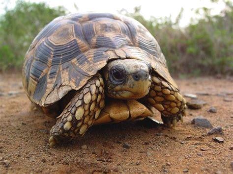 Tortoise L by Leopard Tortoise