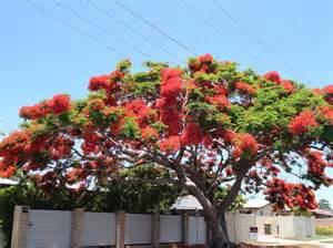poinsetta tree pictures pinterest