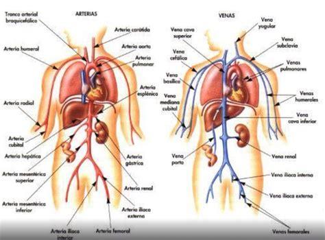 anatoma para posturas de arterias y venas del cuerpo humano anatomia