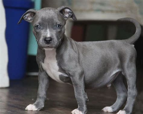villalobos puppies 103 best images about villalobos on new orleans louisiana puppys and pit