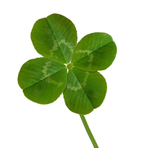 small leaved shamrock four leaf clover image cliparts co