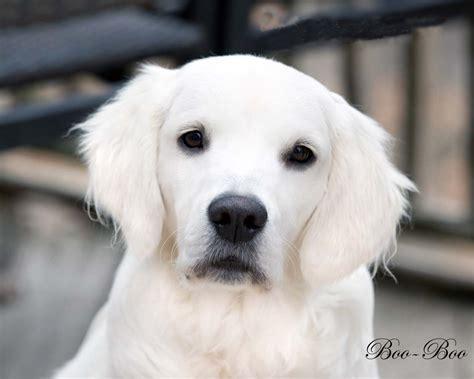 cancer free golden retriever breeders white golden retriever pups fl az ca ma tx nj ny pa ct ri de