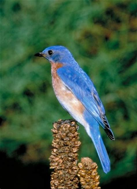 eastern bluebird sialia sialis photos and facts