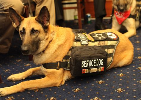 service dogs the dos and don ts of interacting with a service