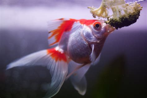Is Fancy by Pictures Of Fancy Goldfish Www Imgkid The Image