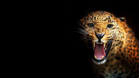 wallpaper black leopard black leopard backgrounds wallpaper cave