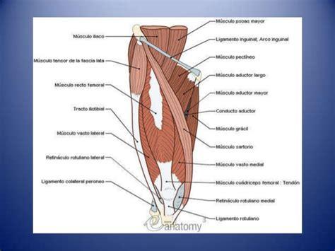 muslo interior region glutea muslo anterior y posterior