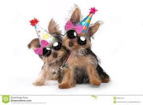 birthday theme yorkshire terrier puppies on white stock