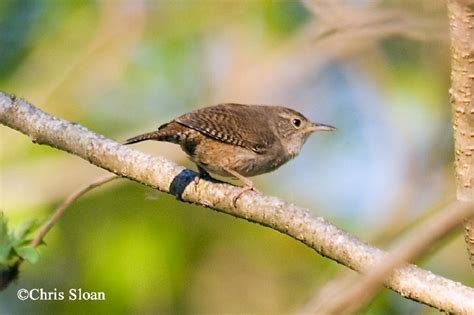 tennessee watchable wildlife house wren habitat