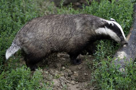 badger cull petition badger cull could be delayed by threats to farmers families