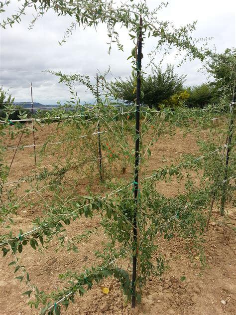 goji coltivazione in vaso lyciumbarbarum it immagini vendita piante di goji