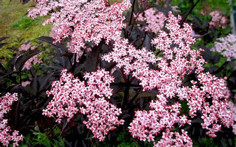 holunder garten holunder pflanzen sambucus nigra pdf