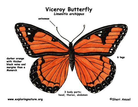 diagram of a butterfly butterfly viceroy