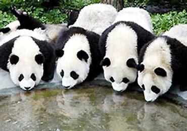 foto panda lucu gambar panda imut gambarbinatangcom