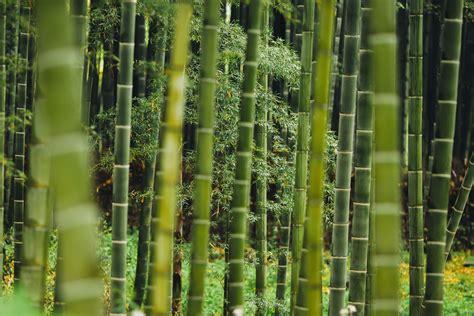gambar pohon hutan cabang menanam hijau tebu bambu