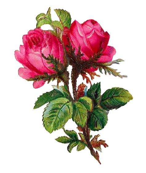 pink clip art antique images printable botanical art digital pink rose