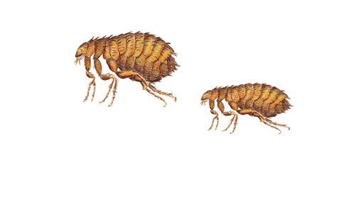 asian lady beetle  ladybugs easiest   identify
