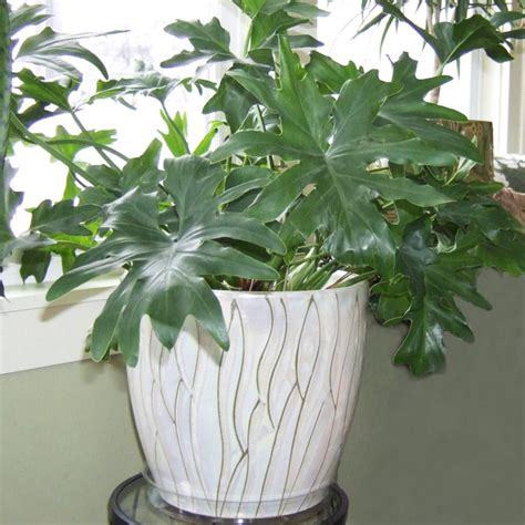 Houseplants by Mid Atlantic Gardening Guide To Watering Houseplants