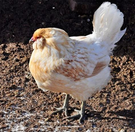 Backyard Chickens Sick Hen Home Remedies For Sick Chickens And Laying Hens