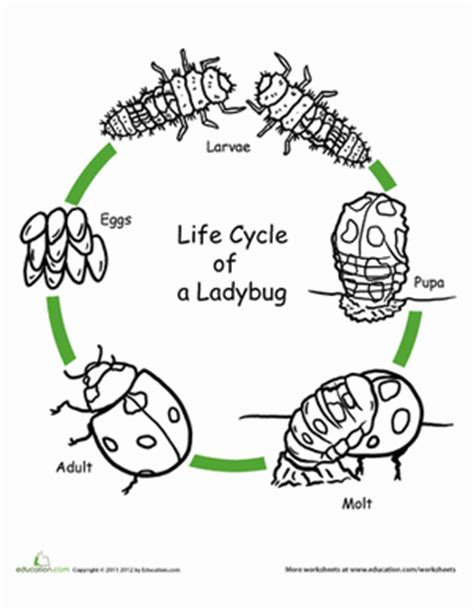 free printable animal life cycle worksheets color the life cycle ladybug coloring page education com