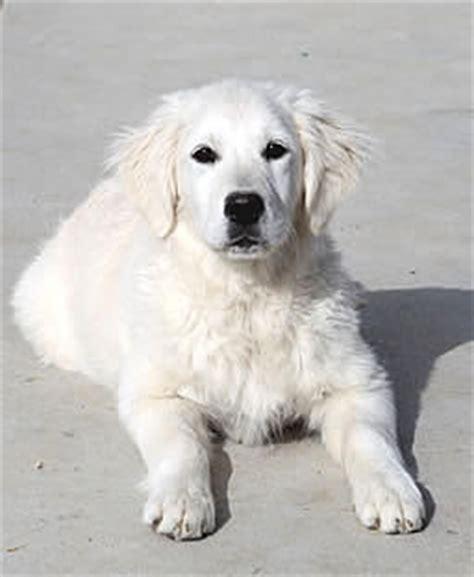 european white golden retrievers b golden retrievers golden retriever puppies for sale white platinum